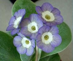 'Cloud Nine' Auricula [Family: Primulaceae]; Shown and  Photographed by Henry Pugh