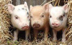 Three little mini piggies - Juliana pigs - born at the Cincinnati Zoo on April 1st ajcanedo