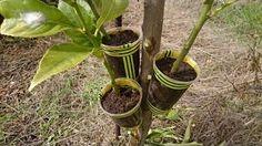 Receta Rico Pastel Helado - YouTube Garden Works, Garden Art, Succulent Gardening, Container Gardening, Fruit Garden, Garden Plants, Grafting Plants, Lemon Plant, Air Layering