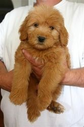 Photo Gallery - Micro Mini Goldendoodle Puppies and Toy Goldendoodle Puppies For Sale in Los Angeles County and Ventura County, Southern California! English Teddybear Goldendoodle Puppies For Sale!