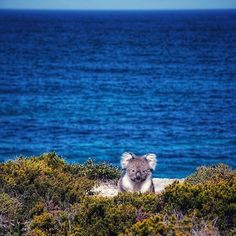 Seems it's not just humans who enjoy hiking the Kangaroo Island Wilderness Trail! This gorgeous #koala was spotted exploring the stretch of trail from Remarkable Rocks to @southernoceanlodge. The KI Wilderness Trail is a 61-kilometre, five-day walking experience, where you'll encounter some of the most rugged, remote and spectacular coastlines in @southaustralia. You can do the walk either self-guided or with a tour operator; contact the @authentickangarooisland visitor centre for more info…