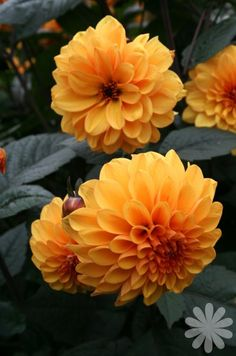 Dahlia 'David Howard' - already on the main plants list, but thought I'd include it.