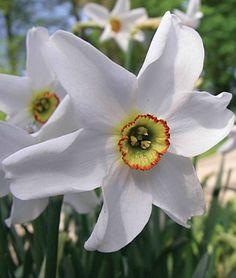 My favorite spring time flower. Pheasant eye narcissus bulbs.