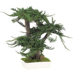 enebro bonsai-Prince-estabiliza vías