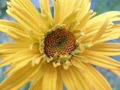False sunflower ready to bloom in full.