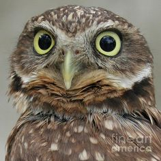 Portrait of Burrowing Owl by Ben and Raisa Gertsberg