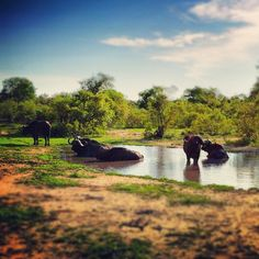 The Cape Buffalo is one of the Big Five animals you can see when you #visitsouthafrica.