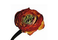 Dongbeom Seo: Irving Penn in Flowers