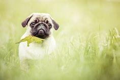 Das Blatt Animals, Animal Photography, Photographers, Interesting Facts, Pug, Animales, Animaux, Animal, Animais