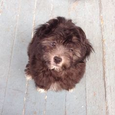 My shih tzu/ poodle mix puppy at 12 weeks! His name is Jackson Daniel.