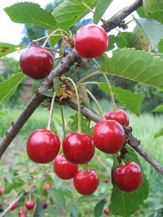 What Are the Benefits of Tart Cherry Juice Concentrate?sfgate: Benefits may include reduction of joint pain and inflammation due to antioxidants, better blood sugar Sour Cherry, Cherry Tart, Vino Malbec, Growing Cherry Trees, Growing Flowers, How To Grow Cherries, Tart Cherry Juice Concentrate, Bing Cherries, Matcha Green Tea