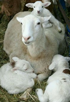A pretty rare occurrence - triplets.  Mom is a busy mother.