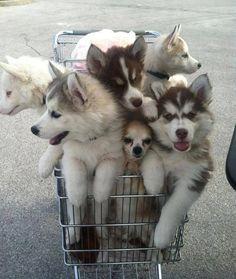 Basket of Huskies