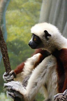 sitting lemur by wundoroo, via Flickr Ape Monkey, Lemurs, Primates, Panda Bear, Ark, Old Things, Cute Animals, Pets, Animals