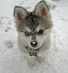 Alaskan Klee Kai... aka mini husky!!! I so want this!!!!