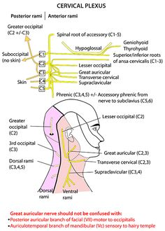 Instant Anatomy - Head and Neck - Nerves - Somatic nerves - Cervical plexus by candice Nerve Anatomy, Head Anatomy, Gross Anatomy, Brain Anatomy, Medical Anatomy, Human Anatomy And Physiology, Facial Anatomy, Medical Coding, Medical Help