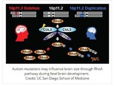 Autism Genes Activate During Fetal Brain Development - pinned by @PediaStaff – Please Visit ht.ly/63sNtfor all our pediatric therapy pins