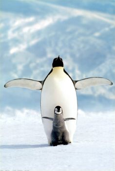 giraffe-in-a-tree:    Emperor Penguins; Penguin see, penguin do!  Photo by Nicolas Poussin
