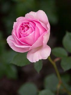 'Maid Marion ' | Shrub. English Rose Collection. David C. H. Austin, 2010 | Flickr - © Osakana Feelingood®                                                                                                                                                                                 Más