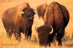~¥~  Buffalo  ~¥~