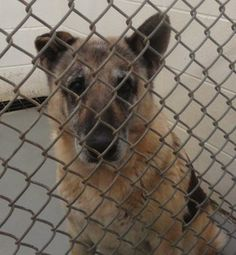 Sad and confused senior German shepherd - her owner never came>> URGENT-Please READ AND SHARE for pledges/rescue/foster potential adopters and help if you can>>>status can change anytime>>Don't wait until it's too late. <3