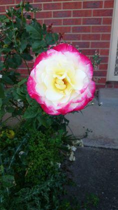 Lemon and pink rose
