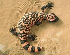 There are only 2 venomous lizards: the Gila monster and the Mexican Bearded Lizard.