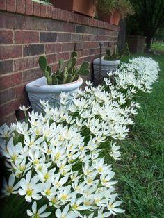 Lírio-do-vento (Zephyranthes): planta que floresce de primavera ao verão, tolera o frio, necessita de solo fértil e sol pleno. Pode ser plantada em bordaduras e vasos.