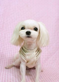 Maltese hair cut , Japanese Summer cut | Pets | Pinterest ...