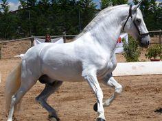 Sevillano, caballo español