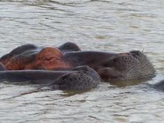 """Die"" Attraktion im iSimgaliso Wetland Park: die Flusspferde"