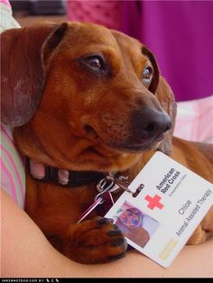 Aww she has a work badge for the Red Cross