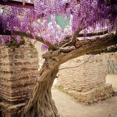 Pink Pergola, Wisteria Tree, Istanbul Turkey, Madness, Terrace, Bloom, Nature, Pink, Gardens
