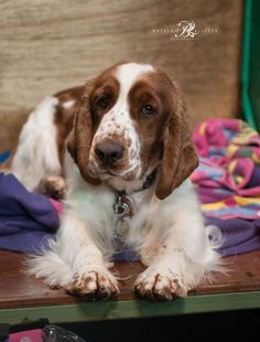 One of the Welsh Springer Spaniels at Crufts 2016.