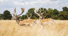 Meet the team! by Simon Migaj on 500px #richmond #park #deer