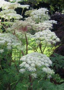 Selinum wallichianum. I was thinking that we could make a lovely umbel bed (this is the name for this type of flower shape) in the area between the trees and the large patio.