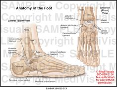 My Peroneus longus tendon is double the circumferential diameter of the adjacent peroneus brevis tendon ~jd