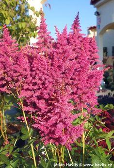 Astilbe ('Verslilac') Astilbe, Plants, Lilac, Garden, Shade Garden, Secret Garden