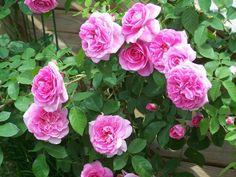 Gertrude Jeckyll - Greater Cincinnati Rose Association