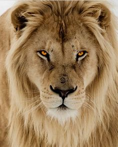 wildlife image by murat guzelyurt. Discover all images by murat guzelyurt. Find more awesome lion images on PicsArt. Citation Lion, Beautiful Creatures, Animals Beautiful, Beautiful Lion, Simply Beautiful, Animals And Pets, Cute Animals, Wild Animals, Jungle Animals