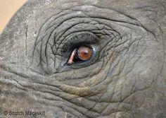 Elephant eye, close-up