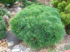 Pinus strobus 'Horstford' photo IMG_0015.jpg