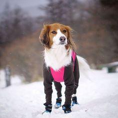 #清里 で雪の降る❄️中すまし顔  #snow #snowplay #alphaicon #アルファアイコン #ダブルフルドッグガード #docdog #マッドモンスター #dogboots #くるる家の週末 #カメラ #camera #α6000 #sony #ファインダー越しの私の世界 #dog #いぬ #犬 #イヌ #わんこ#コイケル #コーイケルホンディエ #kooiker #kooikerhondje #lovemydog #nodognolife #mydog #絶対犬派 #犬が好き #ilovedog