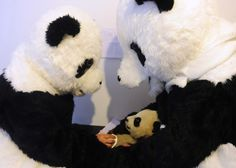 Although it's amusing and cute to see Workers dressed up as Panda bears, they have very special jobs to carry out. At Hetaoping Research and Conservation Centre workers are preparing captive born Panda cubs for Zoo Animals, Cute Baby Animals, Baby Pandas, Animal Babies, Save The Pandas, Panda Costumes, Kids News, Pet News, Bear Cubs