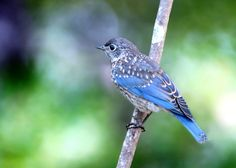 Juvenile male Bluebird