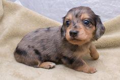 dappled dachshund