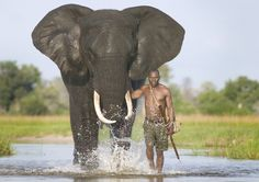 Mahout with African elephant. Both female and male African elephants have tusks but only the male Asian elephants have tusks. Photo by:...