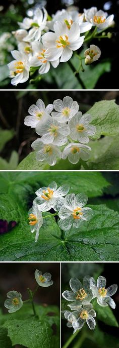 """""""Skeleton Flowers"""" Turn Beautifully Transparent in the Rain---the Diphylleia grayi is an extraordinary flower with white petals that turn beautifully transparent upon contact with water. During light rain showers, the delicate blooms transform into blossoms as clear as glass, fitting its common moniker """"skeleton flower."""""""