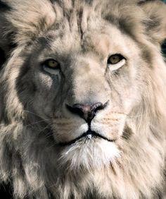 white-lion-dean-bertoncelj[1]