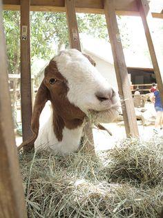happy little goat #cute #animals